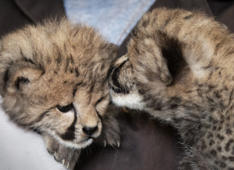Cheetah gives birth to record eight cubs in Saint Louis zoo