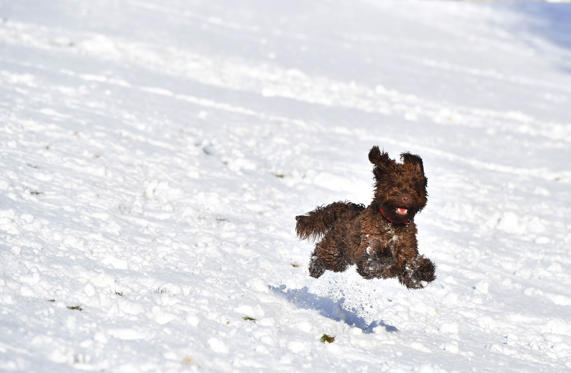 Lysbilde 1 av 73: BELFAST, NORTHERN IRELAND - DECEMBER 08: A dog plays in the snow on the slopes of Stormont on December 8, 2017 in Belfast, Northern Ireland. The MET Office has issued a weather warning across the UK for heavy snow with northern and western parts bearing the brunt of the cold snap. (Photo by Charles McQuillan/Getty Images)