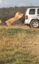 Lion holds on to moving vehicle