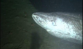 Rare Greenland shark caught on film