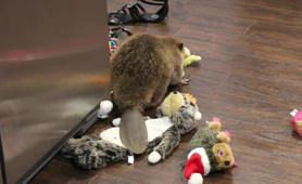 This orphaned beaver is building a dam out of toys!