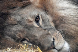 A lion rests in the straw at the zoo in Gelsenkirchen, Germany, Wednesday, Dec. 20, 2017. (AP Photo/Martin Meissner)