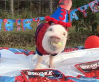 Enjoy some pigs in party hats eating birthday cake, just because!