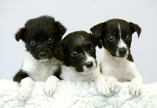 Slide 1 of 100: Caption: Three collie cross-bred puppies named (L-R) Nickki, Gareth and Sally, which were discovered in a litter of five dumped in a cardboard box on one of the hottest days of the year, the RSPCA said. Two of the abandoned cross-bred puppies, all about four weeks old, have since died after they were discovered by a woman walking her dog in a field in Leigh, Greater Manchester, on Tuesday.The remaining three are now recovering at Tyldesley Vets, Tyldesley, Greater Manchester.They have been named Gareth, Nikki and Sally after the vet and nurses who have been caring for them. (Photo by Martin Rickett - PA Images/PA Images via Getty Images)