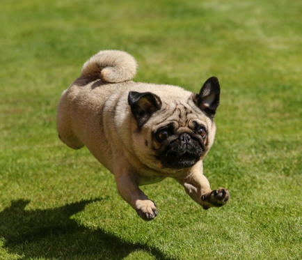 Diapositiva 1 de 101: Pug running on grass