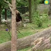 Goofy panda falls out of tree... over and over and over again