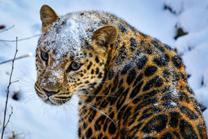 PRIMORYE TERRITORY, RUSSIA  NOVEMBER 18, 2017: A female Amur leopard called Rona walks in the snow in Primorye Safari Park. Yuri Smityuk/TASS (Photo by Yuri Smityuk\TASS via Getty Images)
