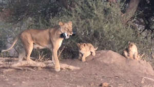 Lioness snatches a photographer's camera