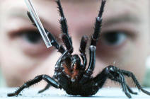 Spider expert Rob Porter from the Australian Reptile Park milks a male Sydney Funnel Web spider, 29 January 2001.