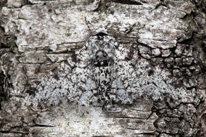 DERBYSHIRE - UNDATED: Peppered Moth camouflaged on birch tree bark in Derbyshire, England. A wildlife expert left no stone unturned in his quest to unmask nature's camouflaged pretenders. Most wildlife photographers rely on colourful and cute animals to sell their photographs for them. This scientific snapper would rather bank on his knowledge of cunning animal behaviour. Nottingham University Biological Photography teacher, Alex Hyde, 27, harnessed years of scientific training to reveal the mysterious world of creatures in hiding. He hopes to give people insight into the little known struggle of animals who only survive by using camouflage adaptations. He travelled to Madagascar and captured images from his own back garden Derbyshire, UK to produce this eye catching set of images. (Photo by Alex Hyde / Barcroft Media / Getty Images)