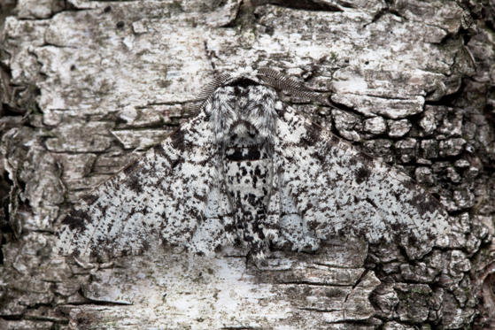 圖片 1 /共 60 張: DERBYSHIRE - UNDATED: Peppered Moth camouflaged on birch tree bark in Derbyshire, England. A wildlife expert left no stone unturned in his quest to unmask nature's camouflaged pretenders. Most wildlife photographers rely on colourful and cute animals to sell their photographs for them. This scientific snapper would rather bank on his knowledge of cunning animal behaviour. Nottingham University Biological Photography teacher, Alex Hyde, 27, harnessed years of scientific training to reveal the mysterious world of creatures in hiding. He hopes to give people insight into the little known struggle of animals who only survive by using camouflage adaptations. He travelled to Madagascar and captured images from his own back garden Derbyshire, UK to produce this eye catching set of images. (Photo by Alex Hyde / Barcroft Media / Getty Images)