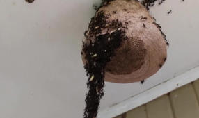 Incredible: army of ants creates bridge to attack a wasp nest