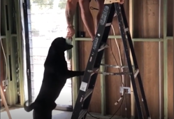 Moment a dog helps its human in renovating the house