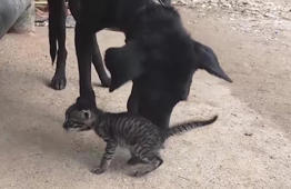 Sweet moment a rescue dog adopts a kitten found in sewer