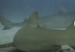 Diver paralyzes shark using hands