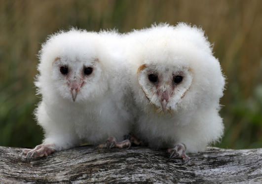 Slide 1 of 94: Peek and Boo the four week old barn owls chicks at Blair Drummond Safari Park. The chicks are being hand reared by their keeper Dominic King, a process called imprinting which involves them spending as much time as possible with their keeper.