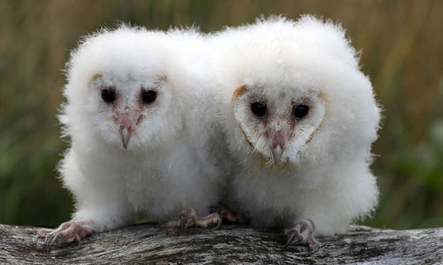 Слайд 1 из 107: Peek and Boo the four week old barn owls chicks at Blair Drummond Safari Park. The chicks are being hand reared by their keeper Dominic King, a process called imprinting which involves them spending as much time as possible with their keeper.