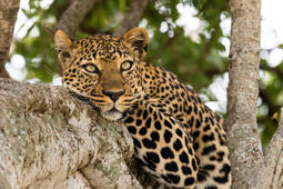 Close-up of a leopard resting on tree, Masai Mara, Kenya, Africa
