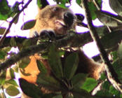 Tree kangaroo species thought to be extinct for a century re-discovered in Indonesia