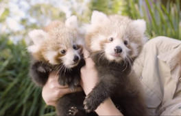 Baby red pandas have fun at the zoo