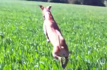 Excited dog hops through a field of tall grass, kangaroo style