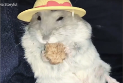 When an adorable hamster puts on its mealtime hat