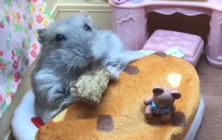 Pampered hamster enjoys breakfast in bed