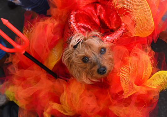 Slide 1 of 35: A dog in costume is seen during the 27th Annual Tompkins Square Halloween Dog Parade in Tompkins Square Park in New York on October 21, 2017. / AFP PHOTO / TIMOTHY A. CLARY        (Photo credit should read TIMOTHY A. CLARY/AFP/Getty Images)