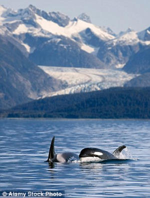 During her cruise, Caroline was lucky enough to see three killer whales