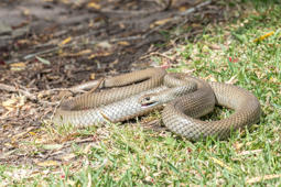 Eastern Brown snake (Pseudonaja textilis), often referred to as the common brown snake.  This is the second most poisonous snake in the world and is indigenous to Australia