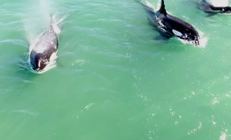 Drone captures overhead footage of killer whale pod