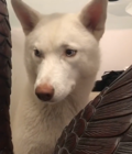 Super guilty husky tries to hide from owner's reprimand