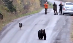 Friendly dog plays 'tag' with a wild bear