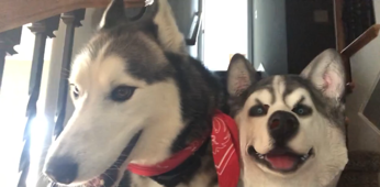 Cheeky owner pranks pet with her husky mask