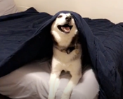 Siberian Husky caught sneaking into bed