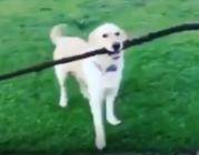 Smart dog takes safety seriously and uses the pedestrian crosswalk