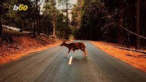 a person walking down a dirt road: Drivers Need to Watch For Deer During Mating Season or Risk Spending 'Big Bucks' on Repairs