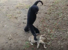 Gangly ape finds its playmate in a kitten