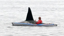 a man riding on the back of a boat in a body of water: Curious killer whale literally swims beside man in kayak