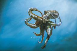 Diver makes clingy friend as octopus sticks to diver