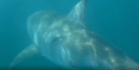 Guy encounters great white shark while kayak fishing