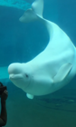 Beluga Whale dances along to music box