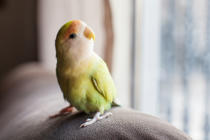 A small parrot green and red color, is staring at it, it is very nice. Has a lot of color