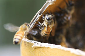 Bees are not only responsible for honey, as vital pollinators they are the cornerstone of the food industry.