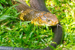 The king cobra (Ophiophagus hannah), also known as the hamadryad, is a venomous snake species in the family Elapidae, endemic to forests from India through Southeast Asia.