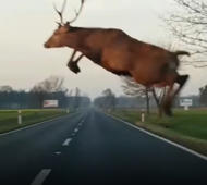Deer's amazing jump over moving car