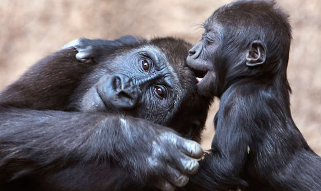 Slide 1 de 67: Baby gorilla Kianga, right, plays with young gorilla Diara, left, at the Leipzig Zoo in Leipzig, Germany, Wednesday, Feb. 7, 2018. The female baby gorilla was born on Dec 4, 2016. Together with Diara and Kio now are living three young gorillas in the group. (AP Photo/Jens Meyer)