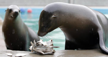 Lola and Poppy (rear) the Californian sea lions celebrate their first birthday with a sprat filled ice cake.   (Photo by Andrew Milligan - PA Images/PA Images via Getty Images)