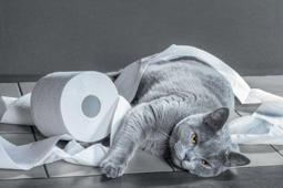 British Blue cat and toilet paper.