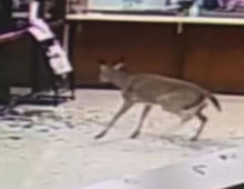 Deer smashes through window and walks off